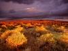 antelope-valley-poppy-reserve-california