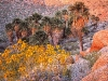 california-fan-palms-and-brittlebush-at-sunrise-anza-borreg