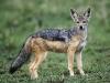 adult-black-backed-jackal-masai-mara-kenya