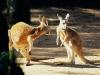 kangaroo-conversation-australia