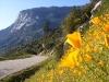 resized_california-golden-poppy