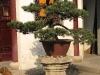bonsai-in-china