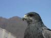 peruvian-blue-hawk-peru