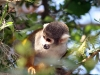 playing-monkey-peru